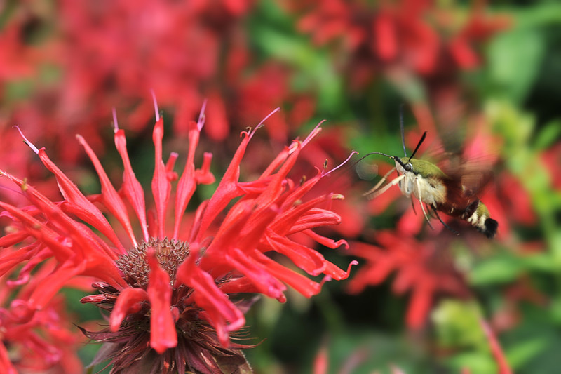 Hummingbird Moth feeding on red flower  to purchase - http://dan-friend.artistwebsites.com/featured/hummingbird-moth-feeding-on-red-flower-dan-friend.html?newartwork=true